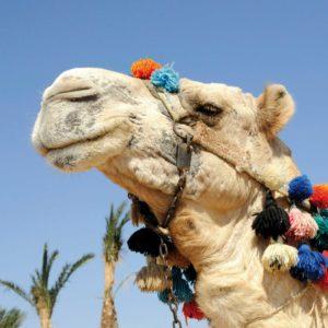 Kamel in Ägypten