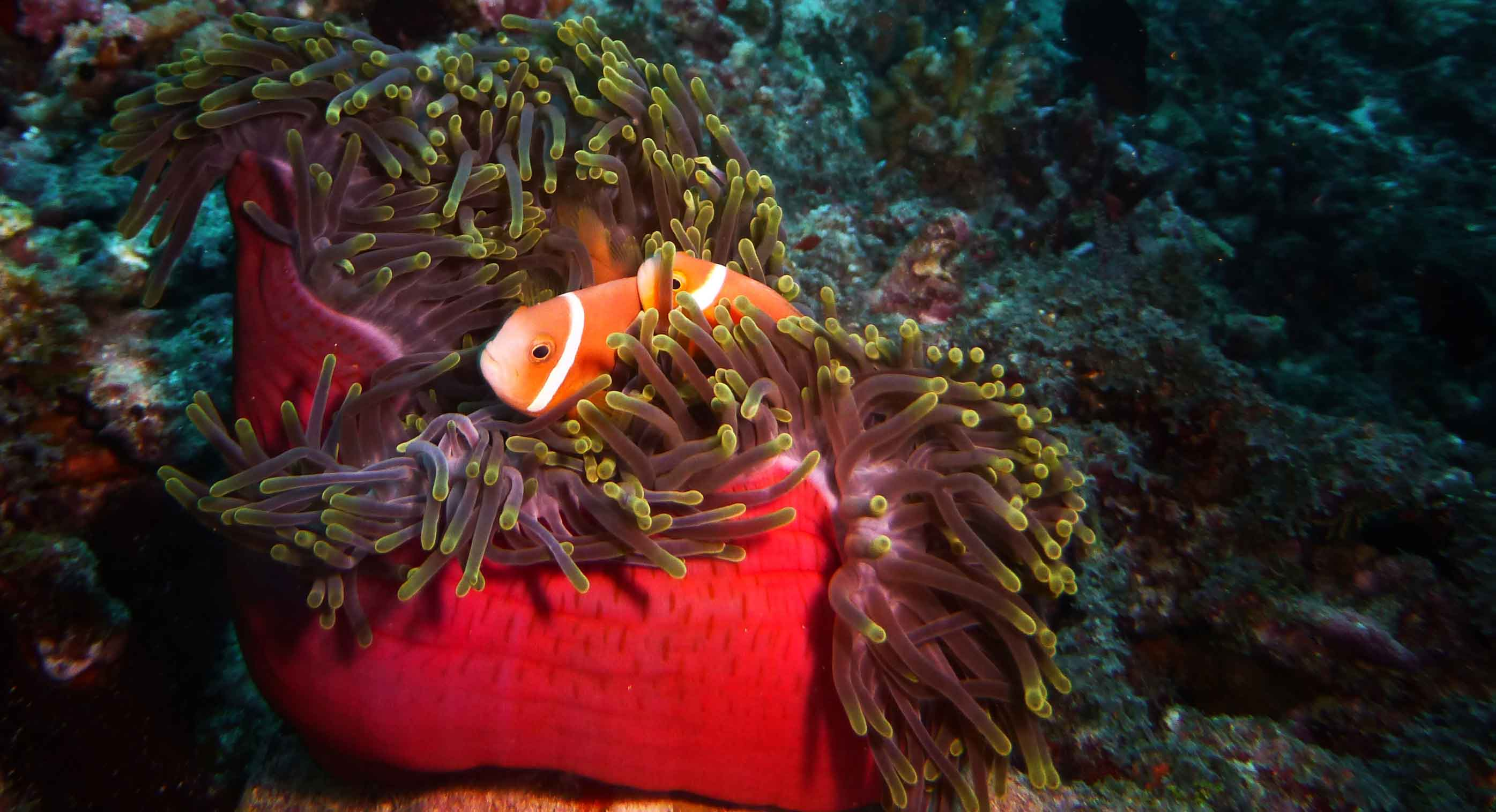 Malediven tauchen: Clownfish in Anemone