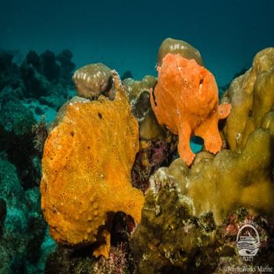 Frogfish beim Tauchen auf Cocos Island