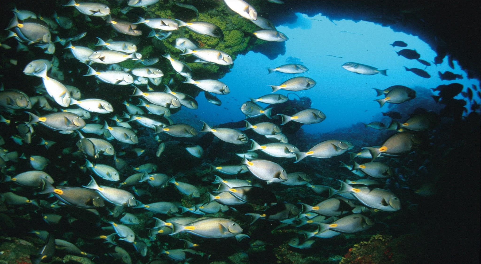 Wenn Sie auf den Kapverden tauchen, werden Ihnen riesige Fischschwärme, wie hier auf dem Bild begegnen.