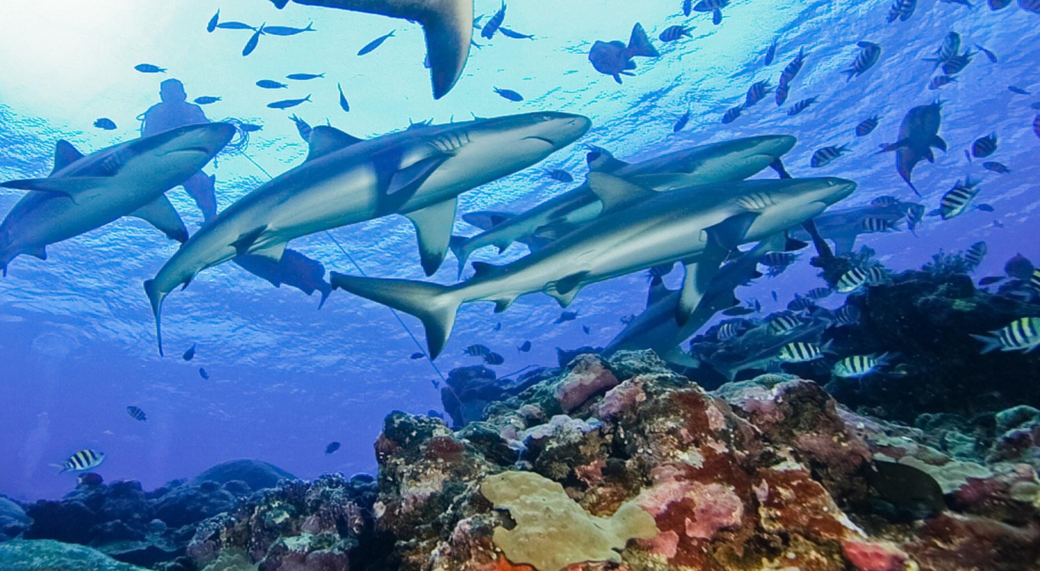Auf Palau & Yap Tauchen bedeutet Großfisch, sow wie hier eine Haischule