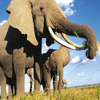 grasende Elefanten