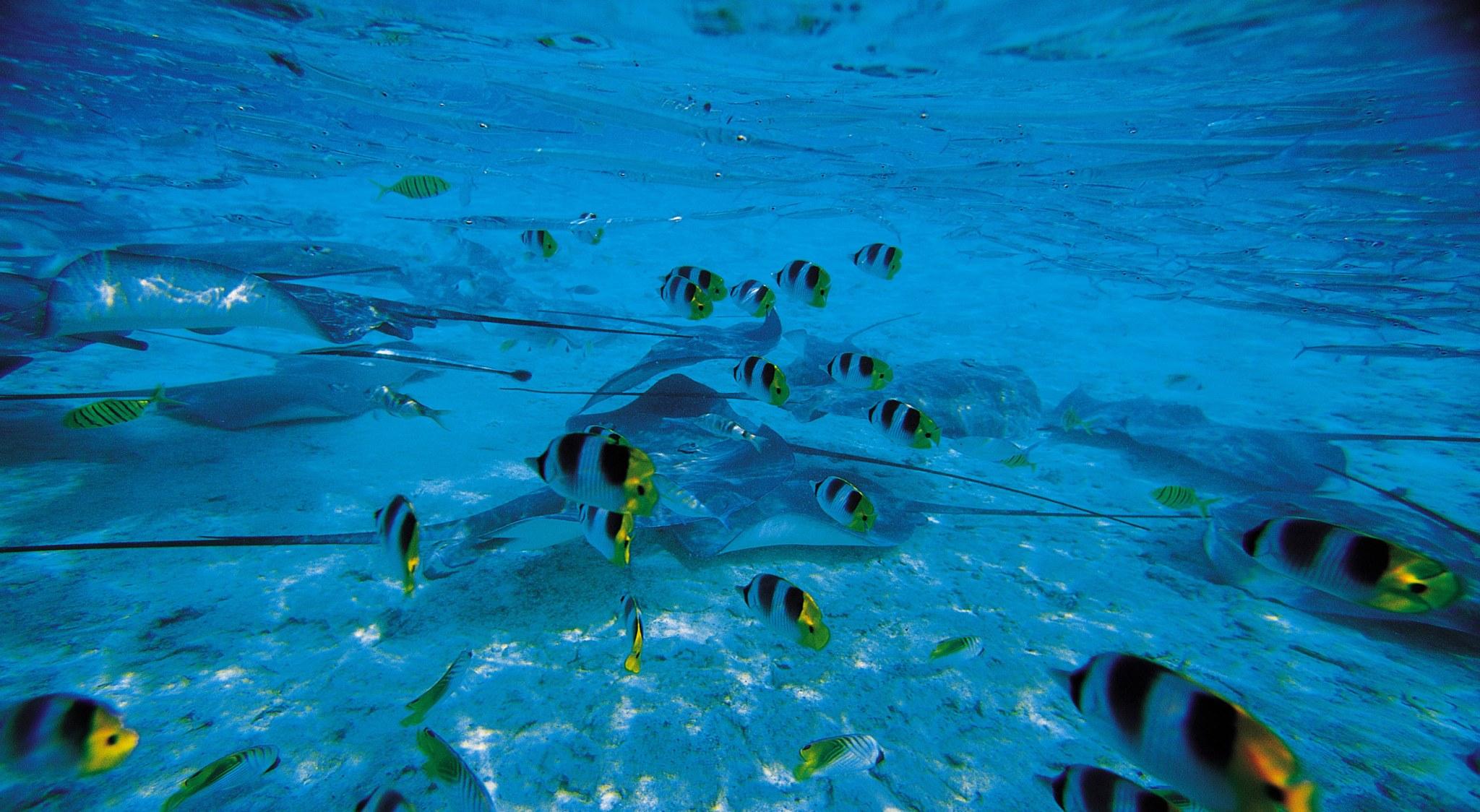 Buntes Treiben beim Tauchen in der Südsee: Schwarmfisch und Rochen wuseln im Flachwasser