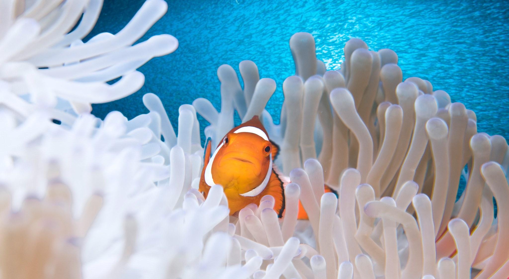 Anemone mit Clownfisch vor riesigen Fischschwarm beim Tauchen auf den Philippinen