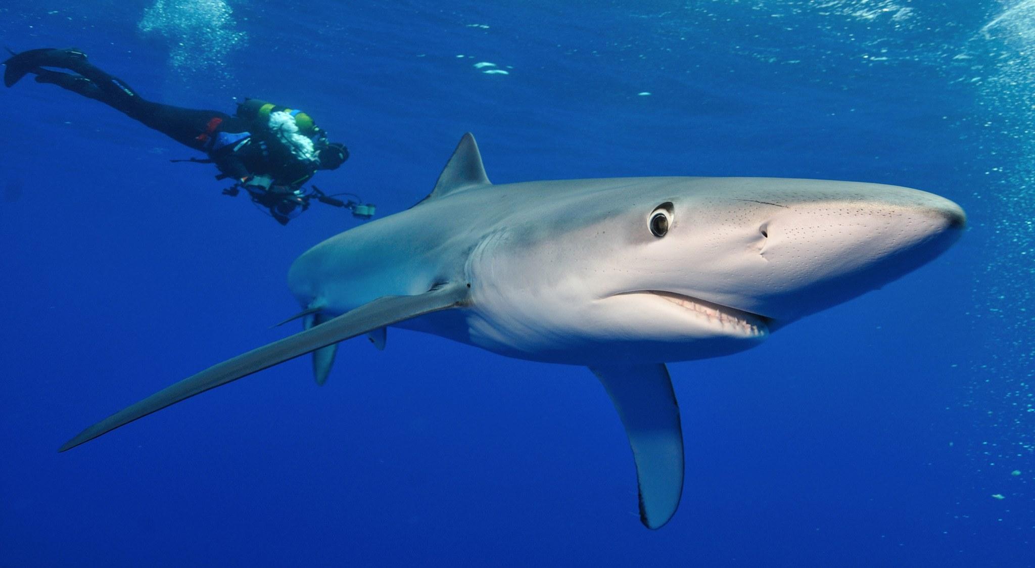 Sie werden Haien wie diesem hier begegnen, wenn Sie auf den Azoren tauchen.