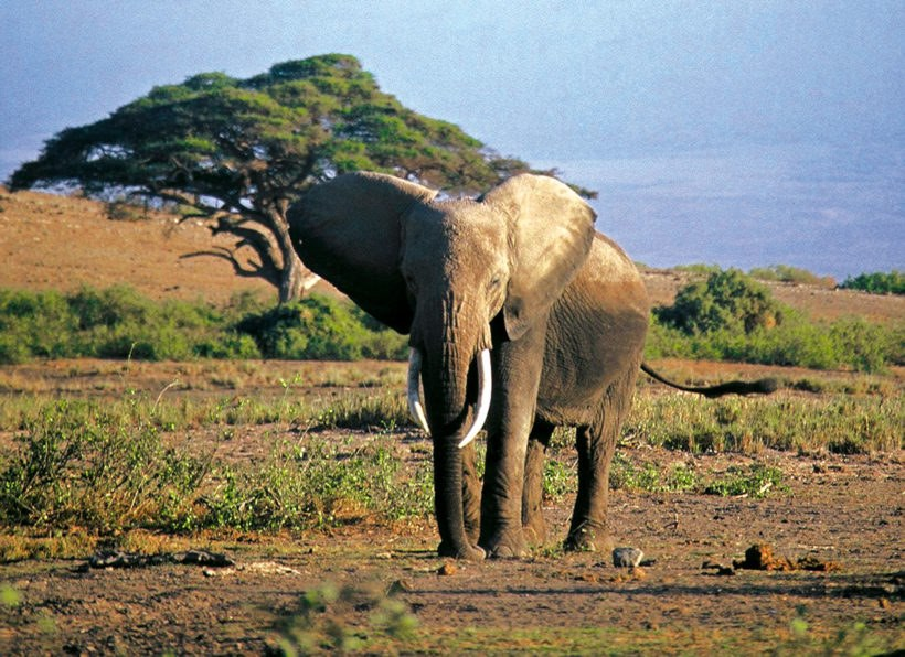 TZ_Elefantenbulle