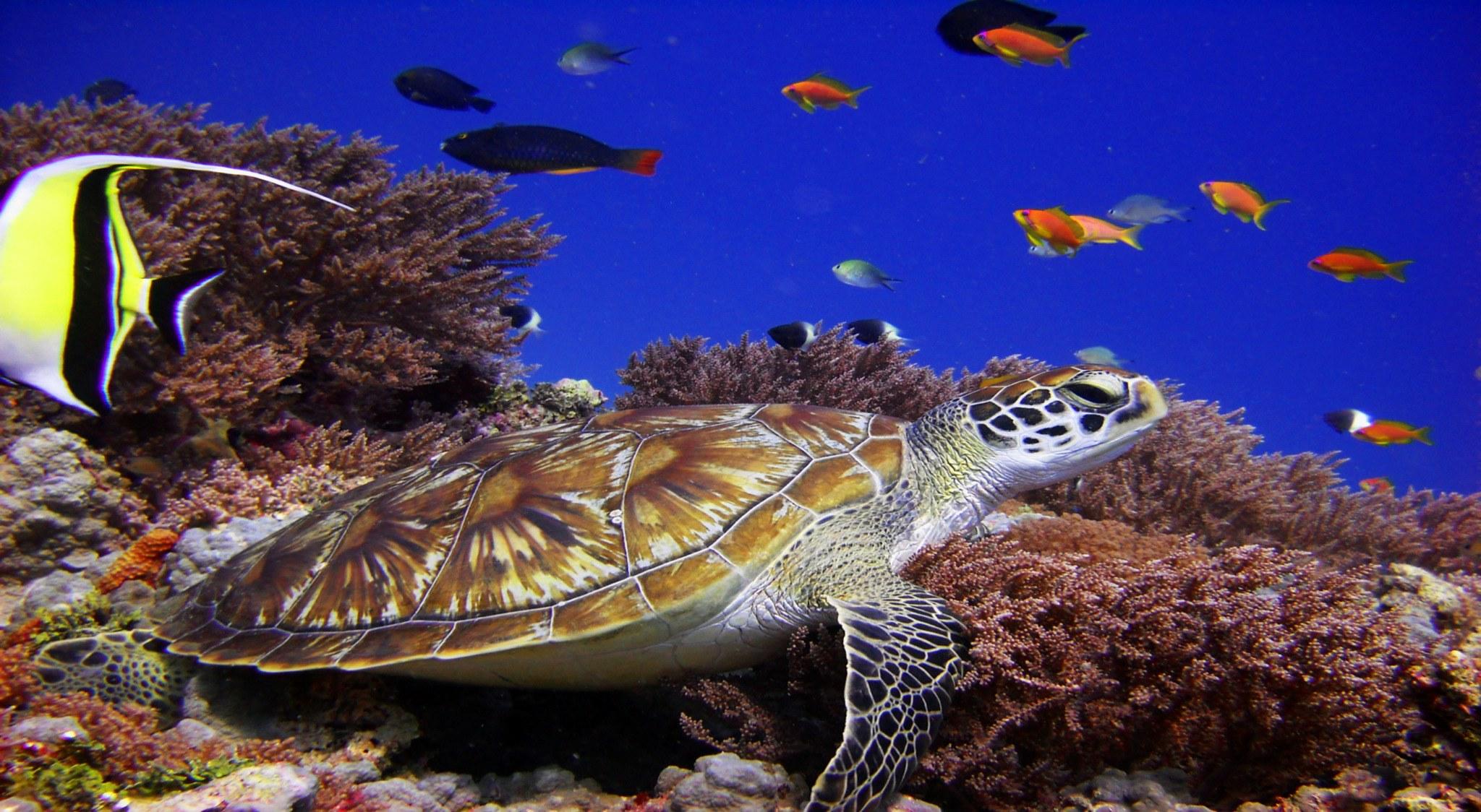 Schildkröte sitzt auf Koralle: Aufnahme als wir auf Sansibar tauchen waren
