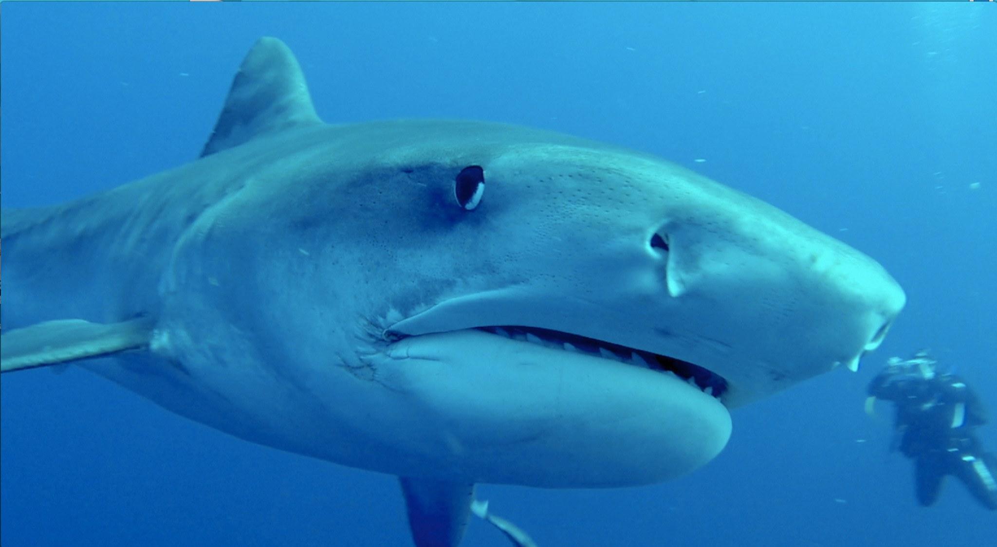 Typisch Südafrika Tauchen: ein Hai ganz nah