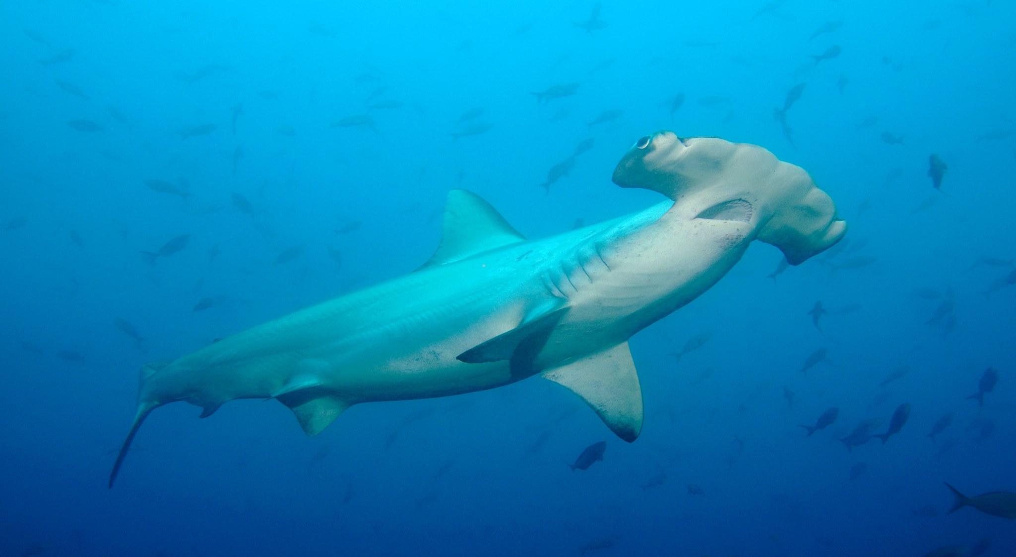 Hammerhai auf Galapagos beim Tauchen