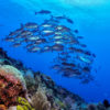ID_Murex_Manado_Dive_Center_Fischschwarm