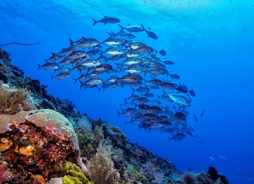 Murex Manado Fischschwarm