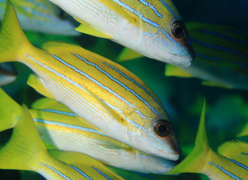 Mirihi Ocean Pro Diving gelber Fischschwarm ganz nah