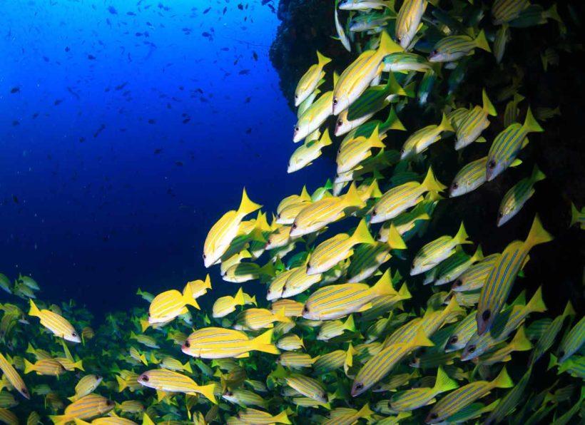 MV-Mirihi-Ocean-Pro-Diving-Fischschwarm2