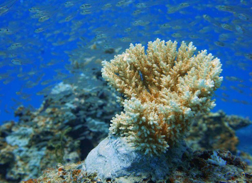 Mirihi Ocean Pro Diving Koreallenaufzucht2