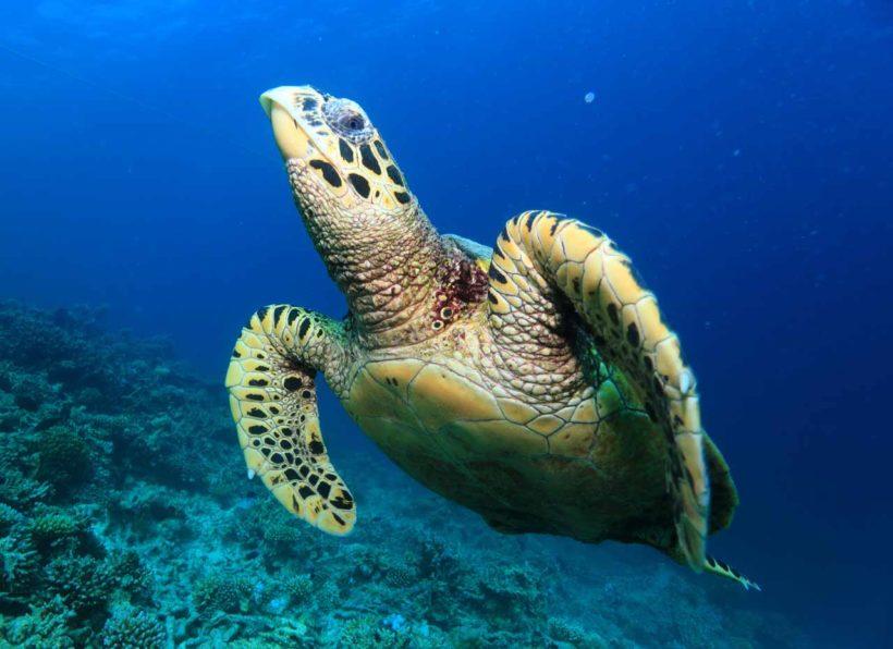 Mirihi Ocean Pro Diving schwimmende Schildkroete