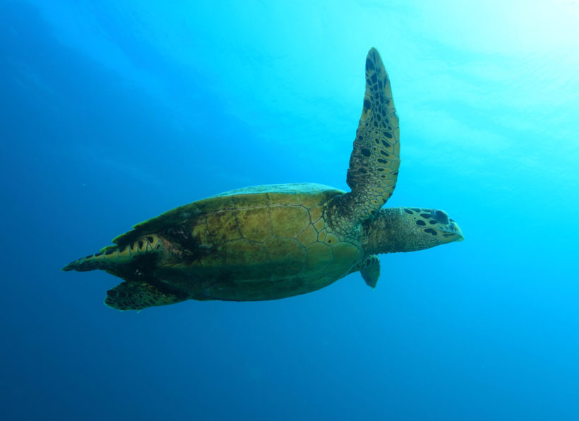 Mirihi Ocean Pro Diving Tauchompressionen Schildkroete3