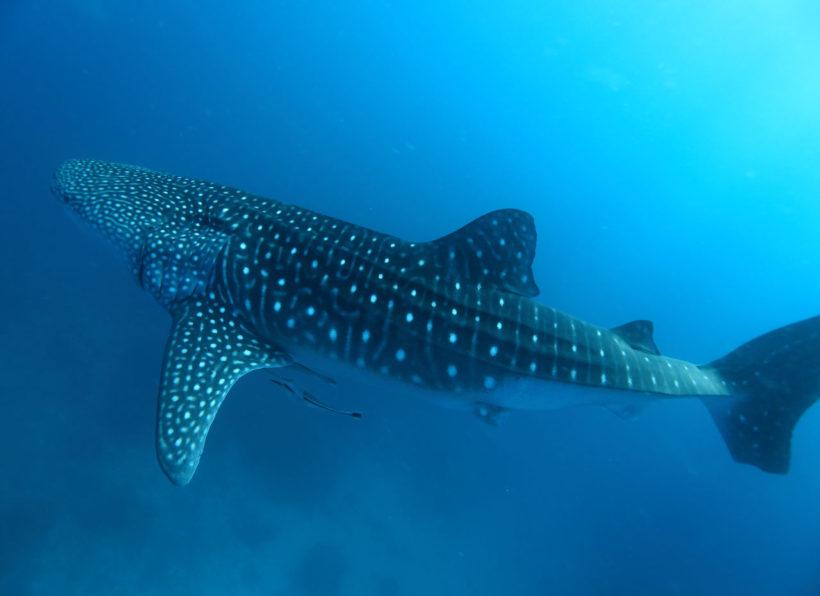 Mirihi Ocean Pro Diving Tauchimpressionen 1
