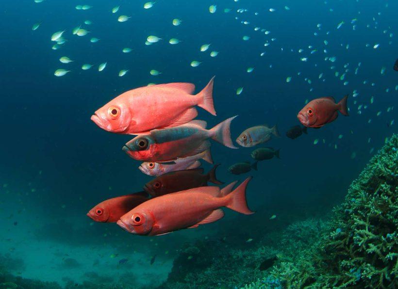Mirihi Ocean Pro Diving Fische orange mit kleinen türkisfarbenen