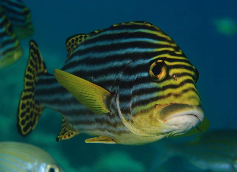 Mirihi Ocean Pro Diving Doktorfisch
