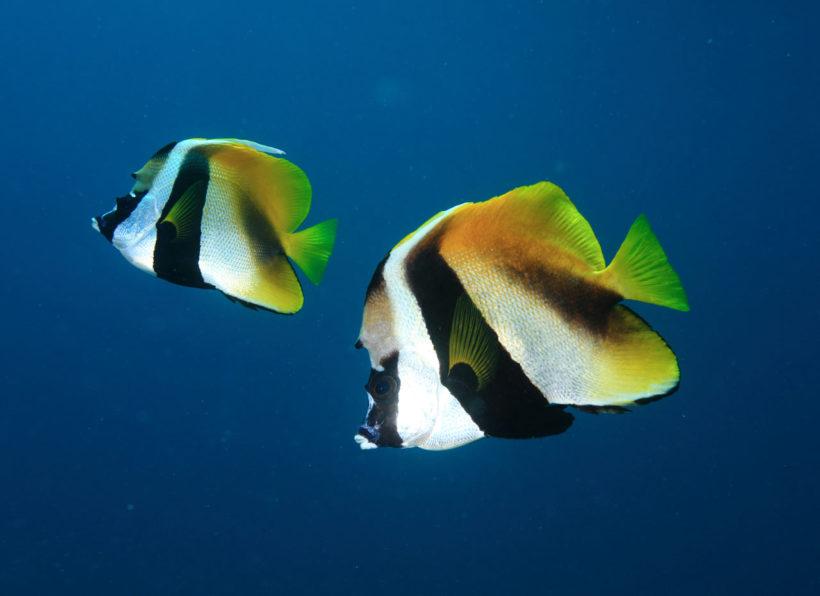 Mirihi Ocean Pro Diving Fischschwarm schwarz gelb nah