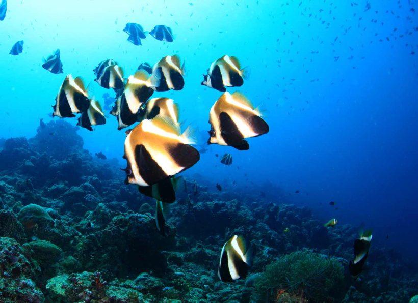 Mirihi Ocean Pro Diving Fischschwarm schwarz gelb